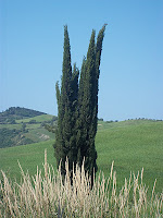 cypress tree in spring in Southern Tuscany