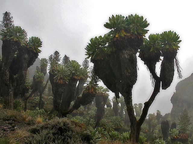 Senecio del Kilimangiaro tra la Nebbia