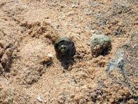 Einsiedlerkrebs - hermit crab