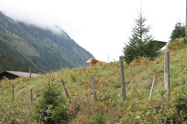 Kuh auf Wanderweg Tipps Wandern mit Kindern Ausflugsziele Ausruestung Oesterreich Jules kleines Freudenhaus