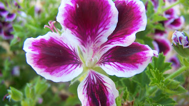Pelargonium grandiflorum 'Early lavender' e 'Imperial'