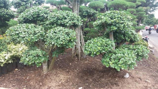 pohon beringin korea