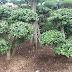 Harga pohon beringin korea | harga terbaru beringin korea 2017 | Pohon beringin korea murah berkualitas | bonsai beringin | Beringin bonsai korea termurah