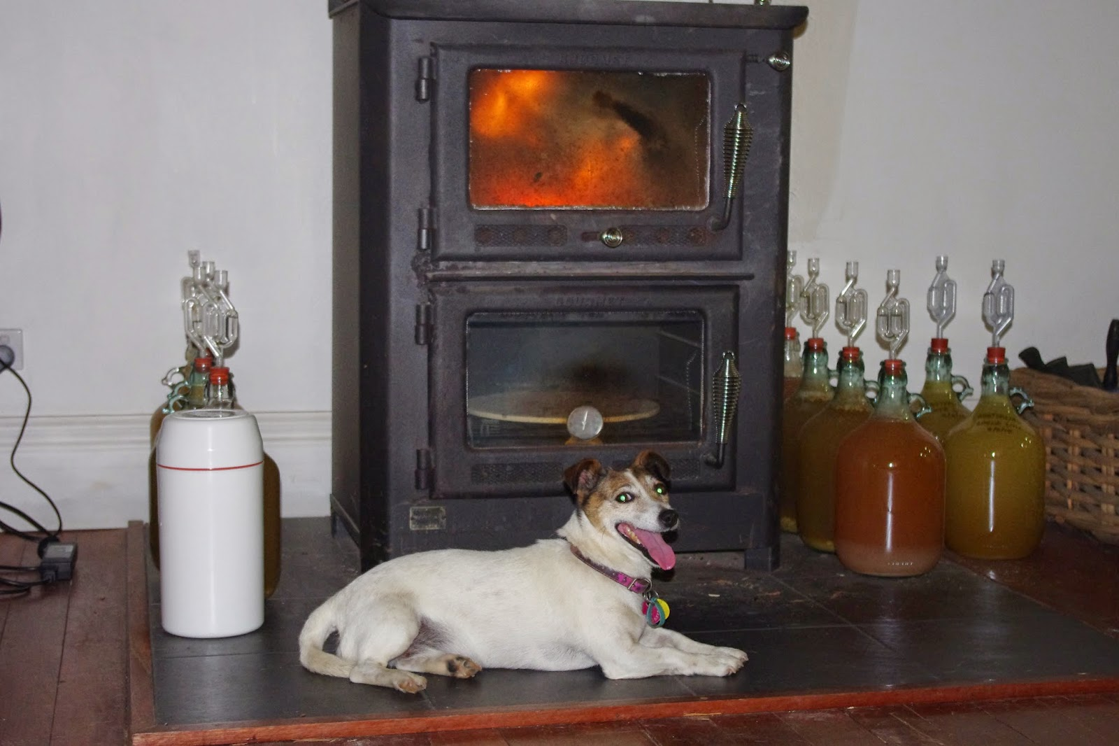 "Scritchy the boss dog ""cooks her head"" in pole position in front of the wood fire"