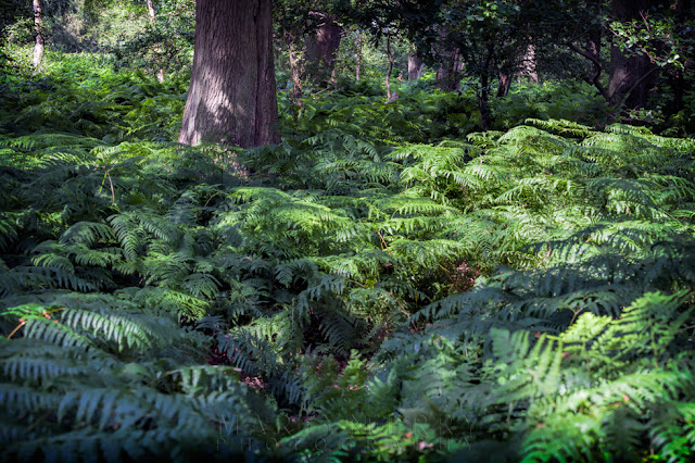 Sea of ferns at the Natural England Holme Fen Nature Reserve