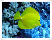 Tang Fish Animal Pictures
