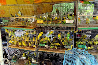animals-birds-parakeets-market