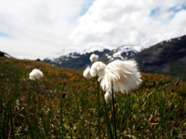 květiny, příroda, flora, zeleň, trek, turistika, Norsko, Jotunheimen, údolí Utladalen