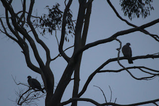 wood pigeons in a tree at dawn