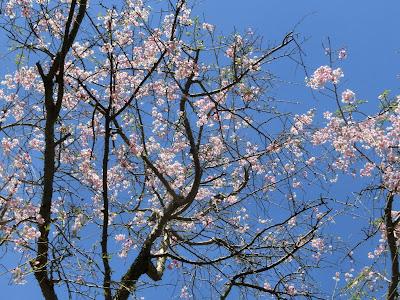 妙本寺枝垂れ桜