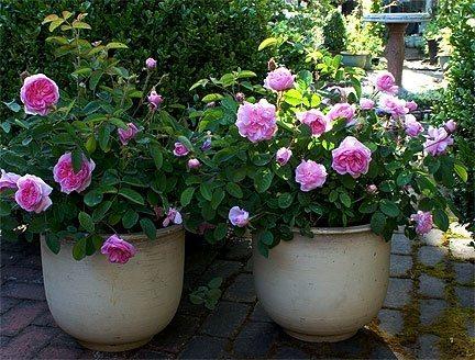 Resultado de imagem para rosas em vaso
