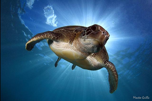 tortugas verdes en tenerife