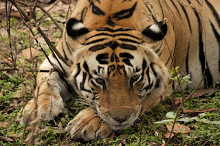 Munna - the famous tiger of Kanha