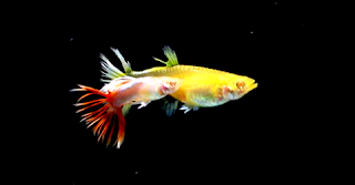 Gambar Guppy Crown Tail