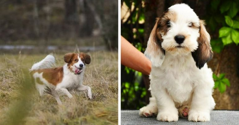 American Kennel Club adds Two new Dog Breeds
