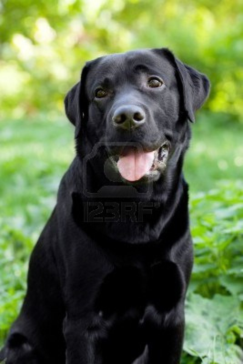boxer pitbull lab mix puppies