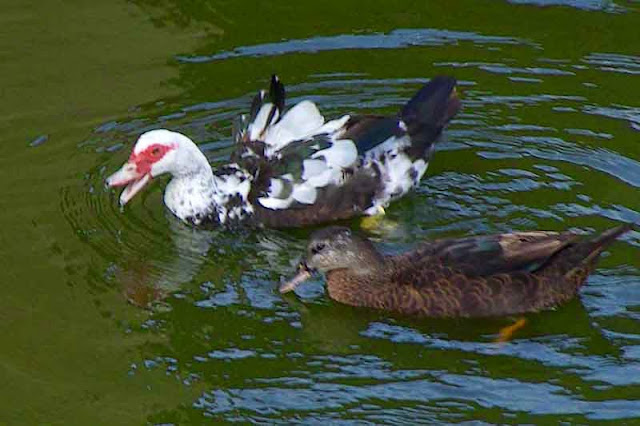 Muscovy Ducks swimming