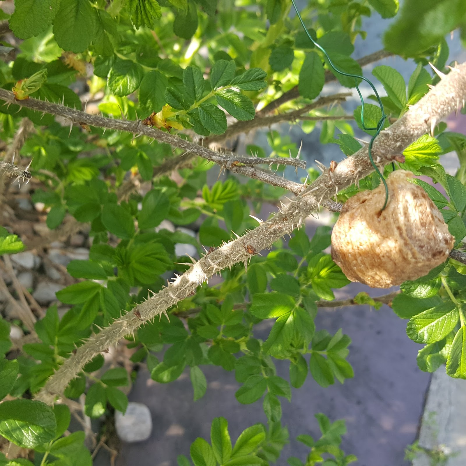 Gear Acres At Top Of The Hill Praying Mantis Egg Cases Part 1