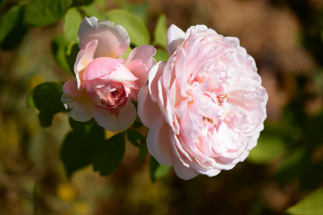 rose St. Swithun, David Austin roses, small sunny garden, amy myers photography, desert garden