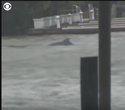 Video Lumba - Lumba Terlihat Di Tengah Banjir Akibat Badai Florence