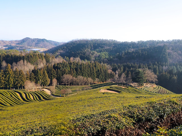 View looking down over green tea fields and countryside around Boseong Green Tea Plantation, South Korea