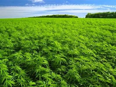 marijuana in the holy oil