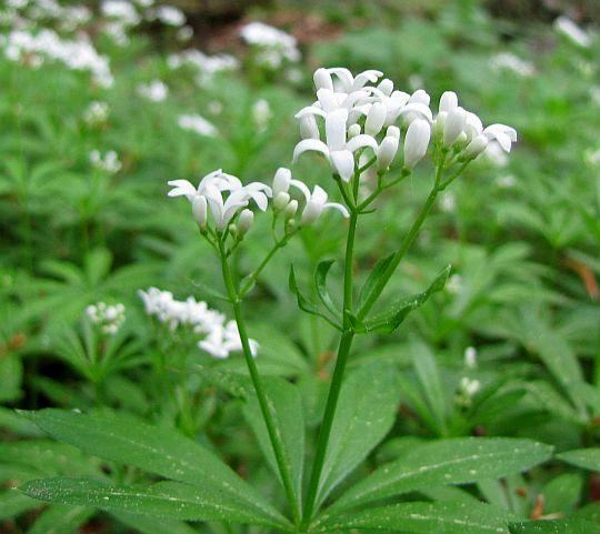 Przytulia wonna (Galium odoratum).