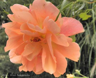 rosa da cor salmão