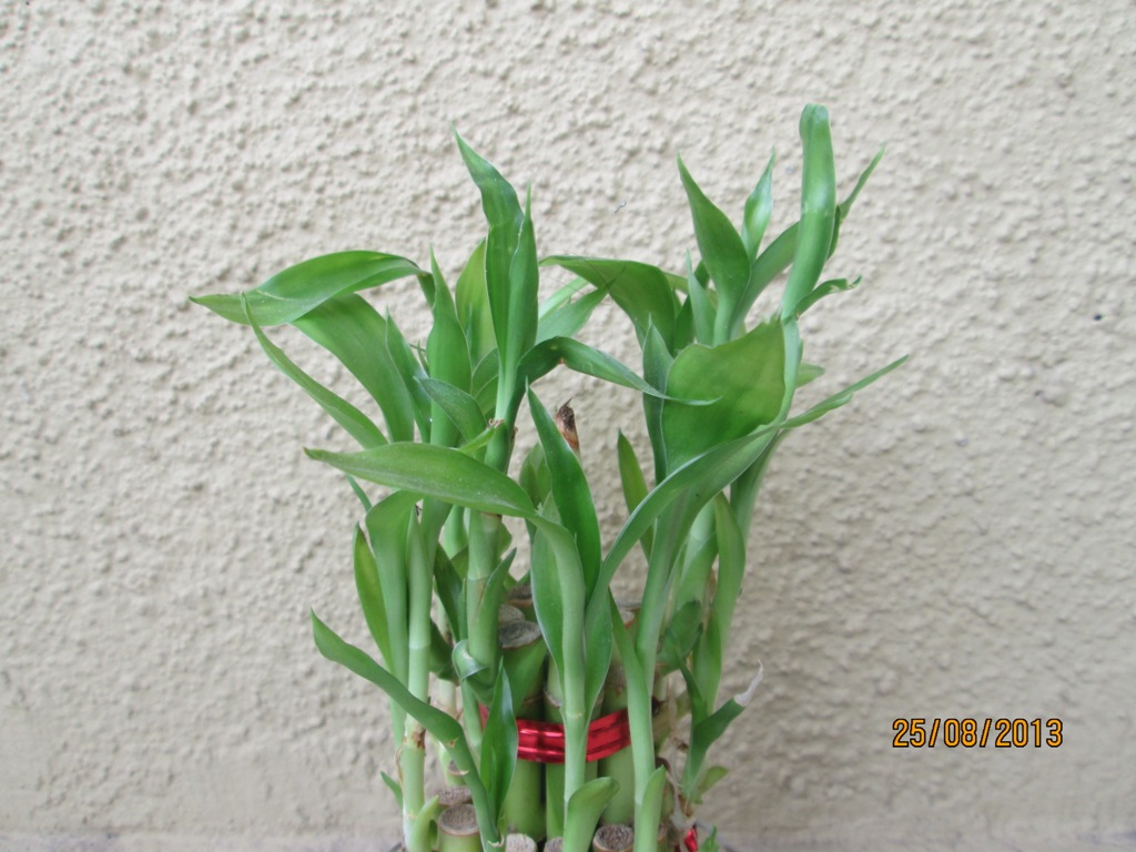 Best Tips For Growing Indoor Plants Part 4 Lucky Bamboo