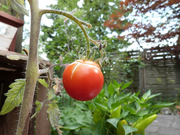 eine-einzelne-rote-tomate-war-die-ernte
