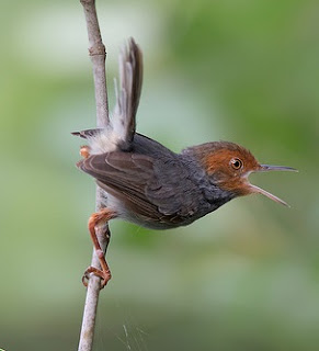Kicau Burung Cinenen Kelabu