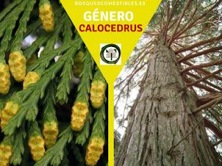 El género Calocedrus, arboles de gran altura, sus hoja son escuamiformes; con conos floríferos