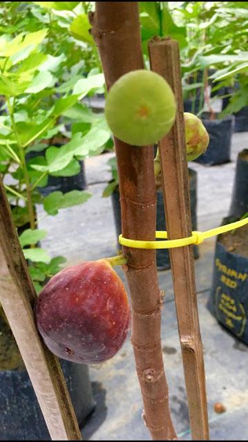 PRETO DOS ACORES Figs
