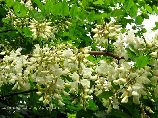 Black Locust tree branch with white flowers-Robinia pseudoacacia