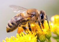 Madhumakhi Honey Bee Facts in Hindi