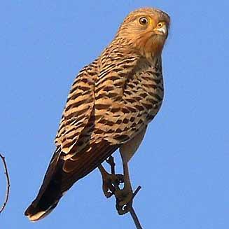 cernicalo ojiblanco Falco rupicoloides