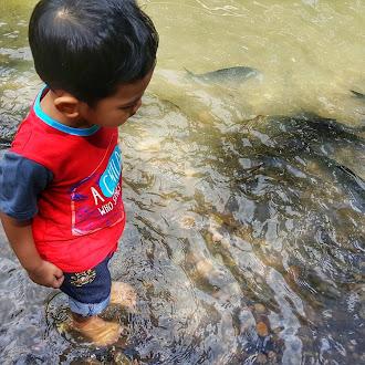 Ikan-ikan Yang Comel Lagi Jinak Di Sungai Moroli, Ranau