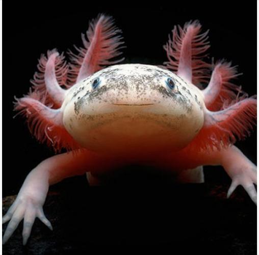 Un axolotl