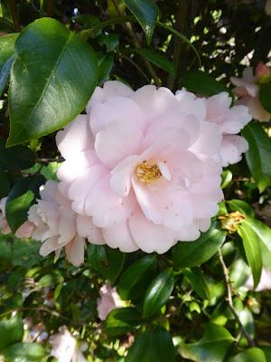 ヌートリアがいた川沿いに咲いていた花(八重のツバキ?)