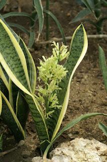 Sansevière à trois bandes - Langue de belle-mère - Sansevieria trifasciata