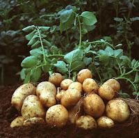 Thành phần của củ khoai tây là gì? có tốt không? bao nhiêu calo?