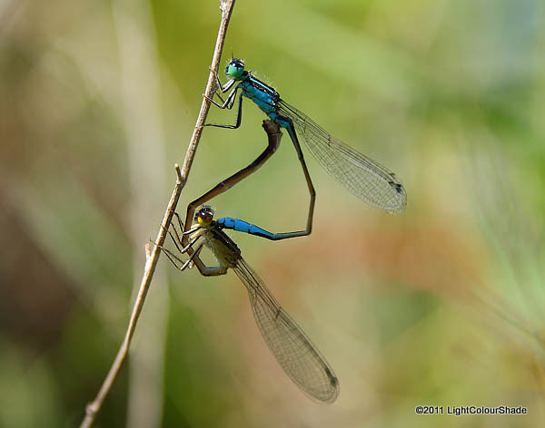 Mating common bluetail damselflies (Ischnura heterosticta)