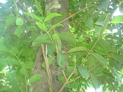 Jambula tree