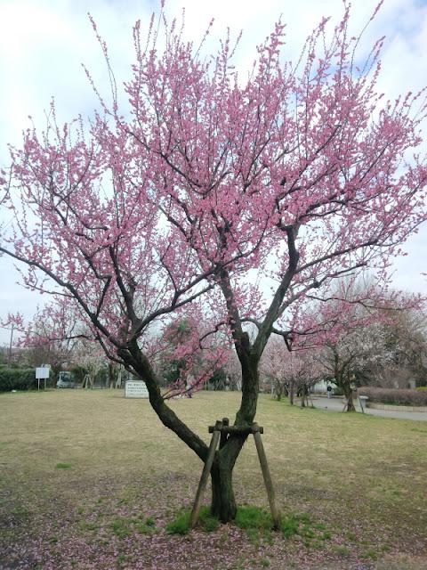 東京都 梅ヶ丘駅 羽根木公園で開催の梅まつりの模様です。