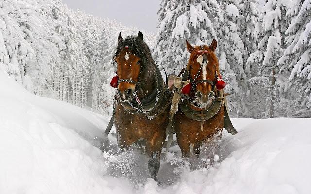 Twee paarden en een slee door de sneeuw