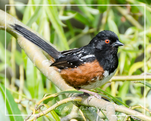 Spotted Towhee. Copyright © Shelley Banks, all rights reserved.