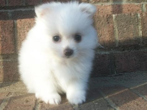 Cute Puppy Dogs White Pomeranian Puppies