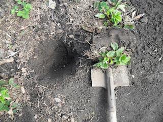 Кустик клубники с комом земли готов к высадке