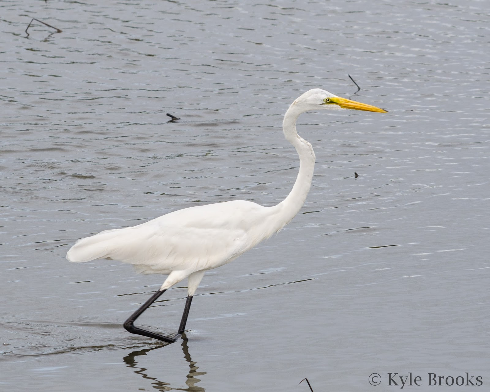 Great Egret South Carolina