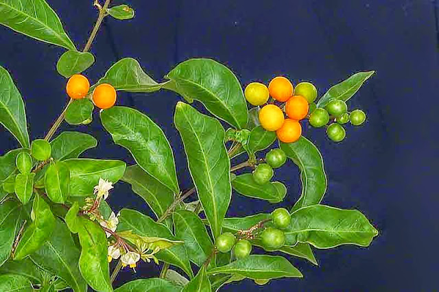 kumquat, leaves, flowers